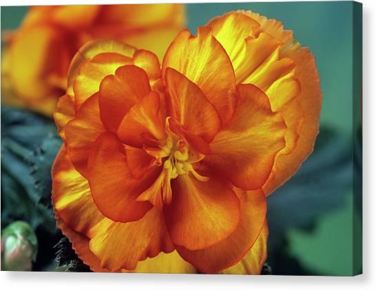Begonia (begonia Tuberhybrida 'picotee') Canvas Print by Ann Pickford/science Photo Library