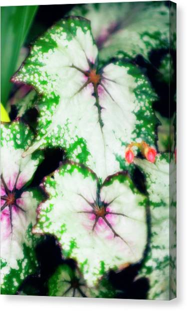 Begonia Leaves (begonia 'uncle Remus') Canvas Print by Maria Mosolova/science Photo Library