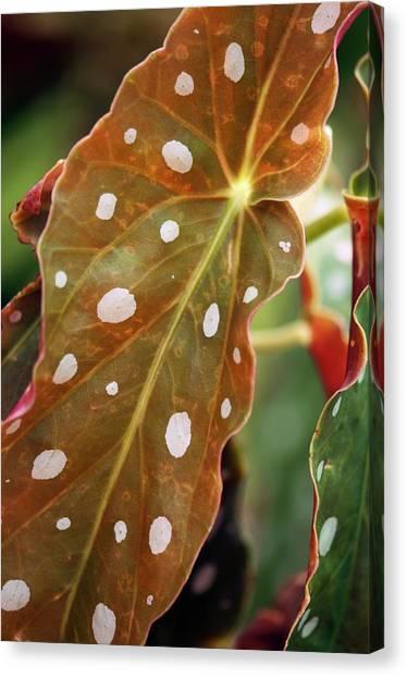 Begonia Maculata 'wightii' Canvas Print by Maria Mosolova