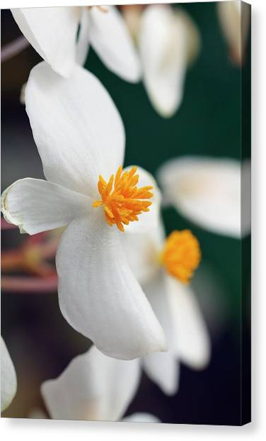 Begonia Minor Canvas Print by Geoff Kidd/science Photo Library