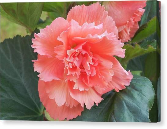 Begonia X Tuberhybrida 'samba' Canvas Print by Ann Pickford/science Photo Library