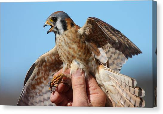 Behold The American Kestrel Canvas Print