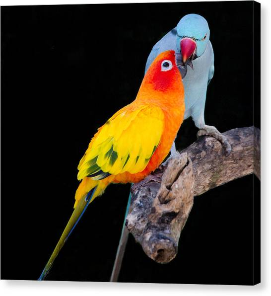 Sun Conure And Ring Neck Parakeet 2 Canvas Print