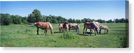 Draft Horses Canvas Print - Belgium Horses Grazing In Field by Panoramic Images