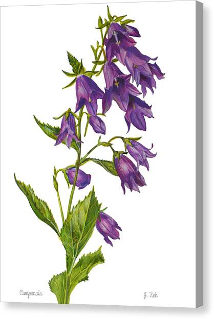Bellflower - Campanula Canvas Print