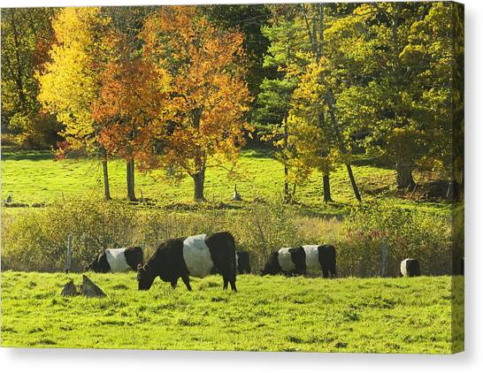 Rockport Canvas Print - Belted Galloway Cows Grazing On Grass In Rockport Farm Fall Maine Photograph by Keith Webber Jr