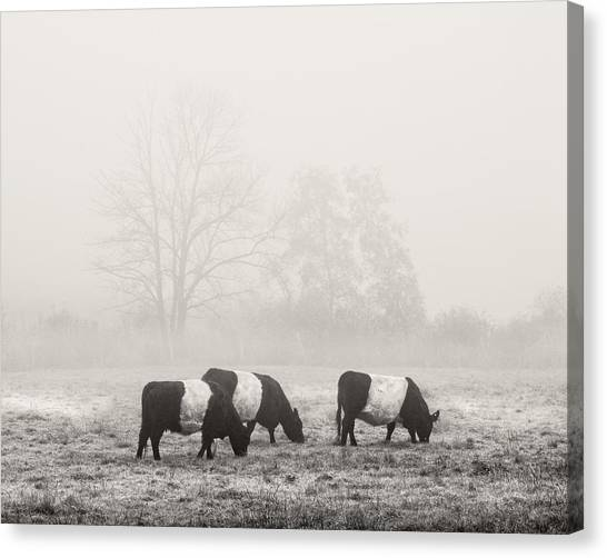Belted Galloway Cows On Foggy Farm Field In Maine Canvas Print