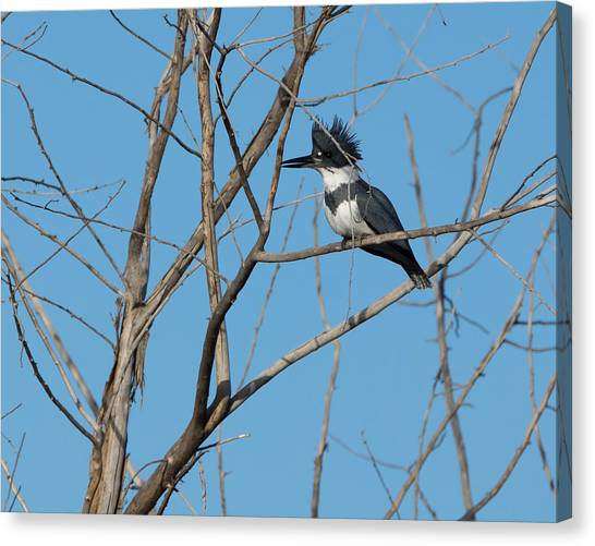 Belted Kingfisher 4 Canvas Print
