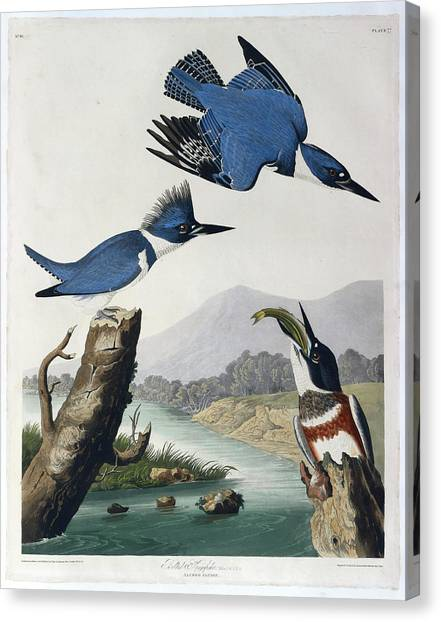 Kingfisher Canvas Print - Belted Kingfisher by British Library