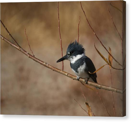 Kingfisher Canvas Print - Belted Kingfisher by Ernie Echols