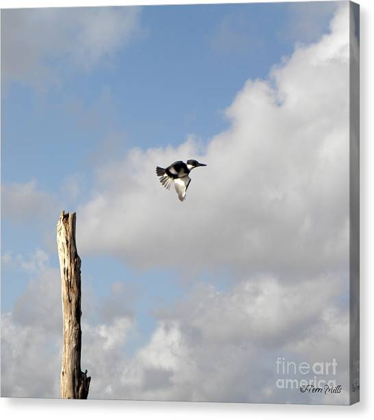Belted Kingfisher In Flight Canvas Print