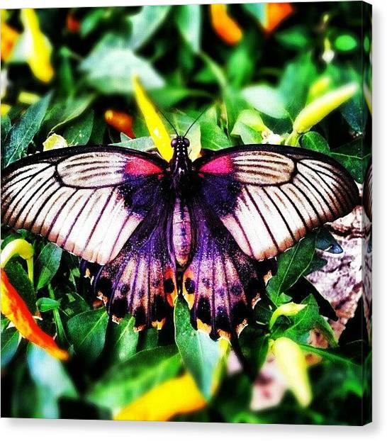 Ford Canvas Print - #benalmádena Butterfly Park by Alistair Ford