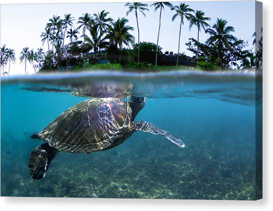 Turtle Canvas Print - Beneath The Palms by Sean Davey