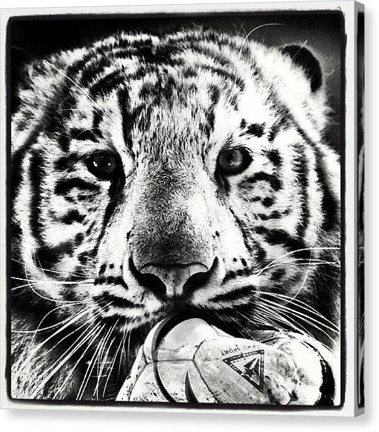 Bengals Canvas Print - Bengal Tiger  by Adam Hurley