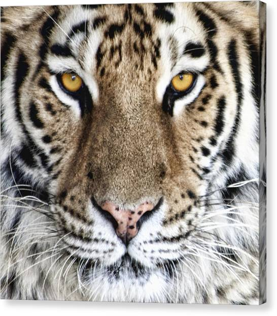 Bengals Canvas Print - Bengal Tiger Eyes by Tom Mc Nemar