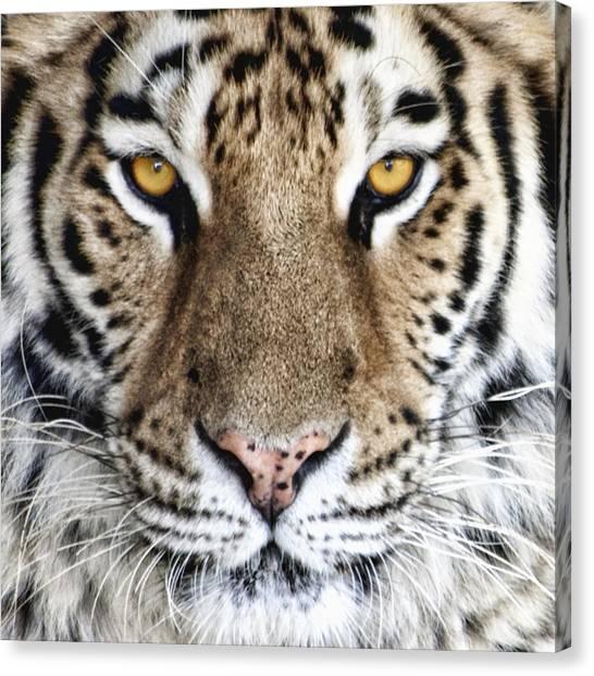 Tigers Canvas Print - Bengal Tiger Eyes by Tom Mc Nemar