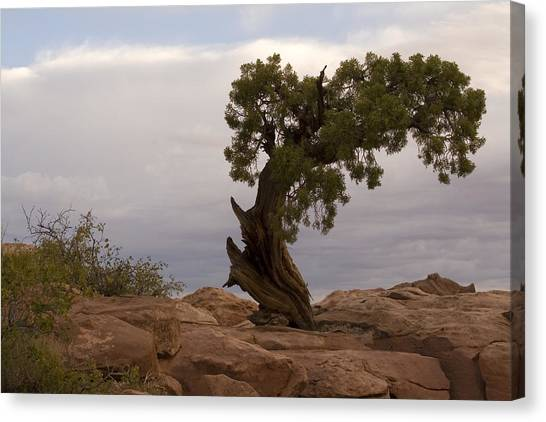 Bent Tree Canvas Print