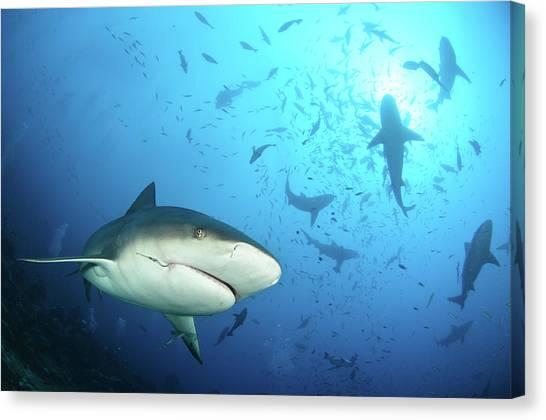 Reef Sharks Canvas Print - Beqa Shark Labs by Alexander Safonov