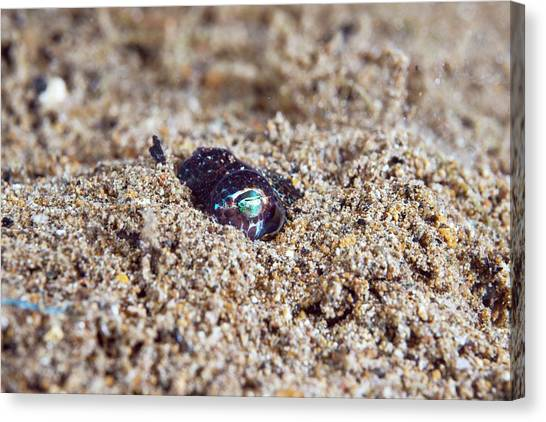 Squids Canvas Print - Berry's Bobtail Squid by Scubazoo/science Photo Library