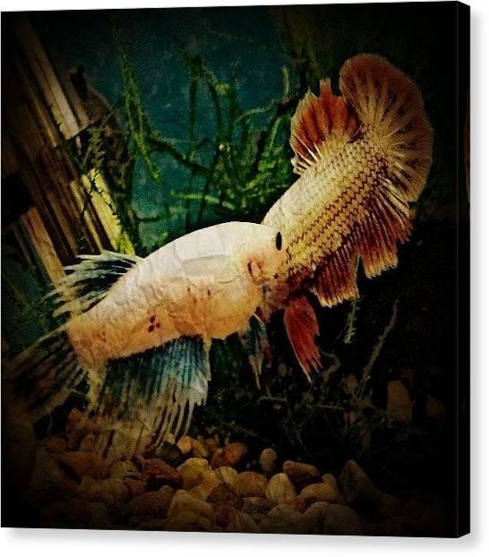 Tropical Fish Canvas Print - #betta #bettafish #siamesefightingfish by Stephen Clarridge