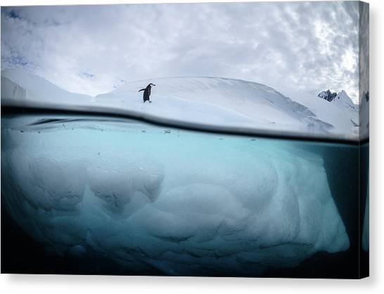 Penguins Canvas Print - Between Two Worlds - Facing Change by Justin Hofman
