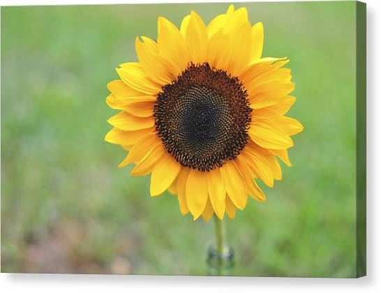Big Bright Yellow Colorful Sunflower Art Print Canvas Print
