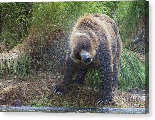 Big Brown Bear Shaking Off Water Canvas Print