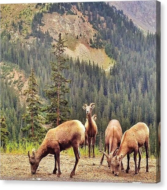 Rocky Mountains Canvas Print - Big Horn Feeding by Jonathan Joslyn