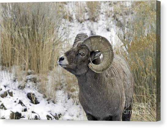 Big Horn Ram Canvas Print by Bob Dowling