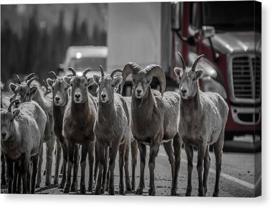 Big Horn Sheep Road Block Canvas Print