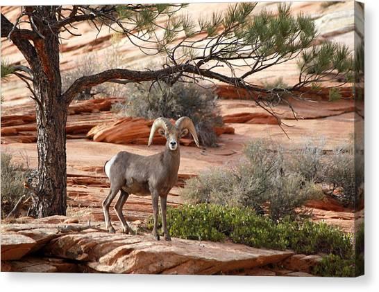 Big Horn Zion National Park Ut Canvas Print
