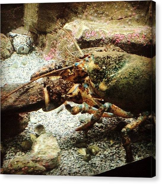 Lobster Canvas Print - Big Juicy #lobster! Yummy Lol by Chuck Oliva
