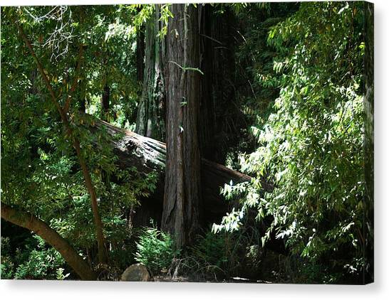 Big Sur Big Trees Canvas Print