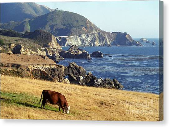 Big Sur Cow Canvas Print