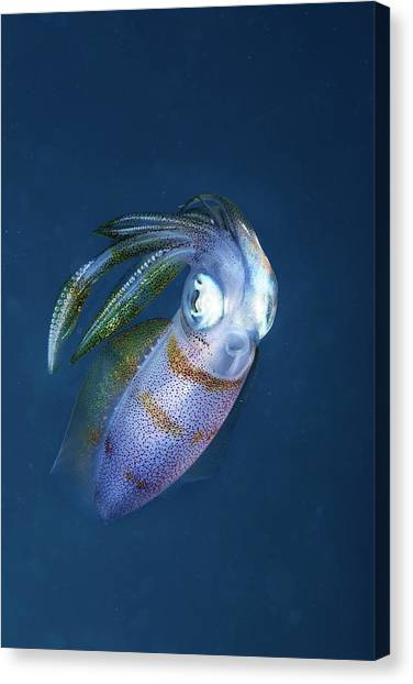 Squids Canvas Print - Bigfin Reef Squid by Ethan Daniels
