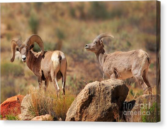 Colorado River Canvas Print - Bighorn Duo by Inge Johnsson