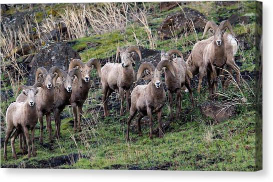 Bighorn Reunion Canvas Print