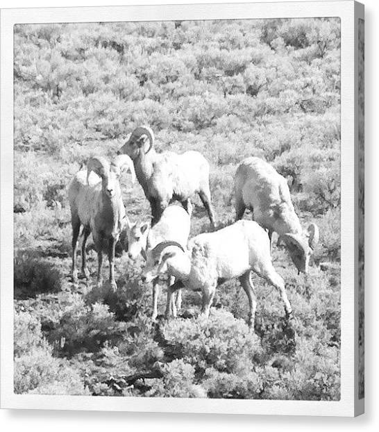 Yellowstone National Park Canvas Print - Bighorn Sheep Grazing by Denette Jacobson