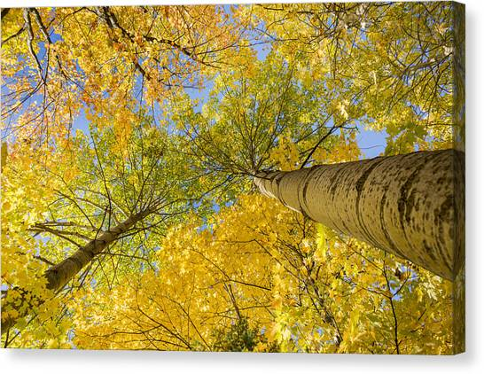 Bigtooth Canopy Canvas Print