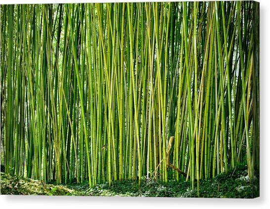 Biltmore Bamboo Canvas Print