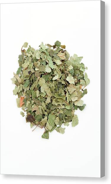 Birch Leaves Canvas Print by Geoff Kidd/science Photo Library