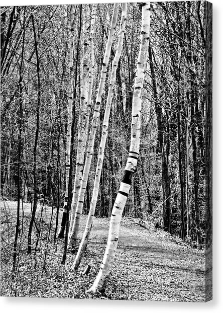 Canvas Print featuring the photograph Birch Sentinels by Kristen Fox
