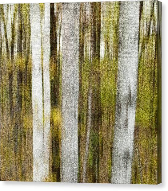 Birch Square Canvas Print