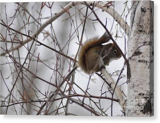 Birch Squirrel Canvas Print by Diane E Berry