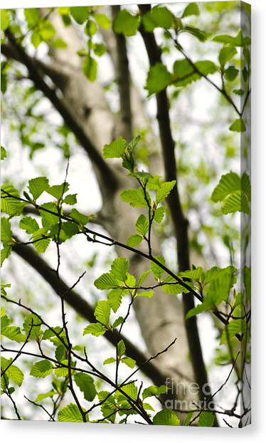 Birch Canvas Print - Birch Tree In Spring by Elena Elisseeva