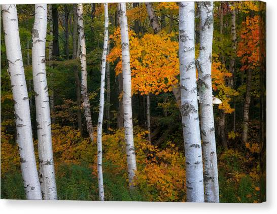 Birch Tree Pan Canvas Print