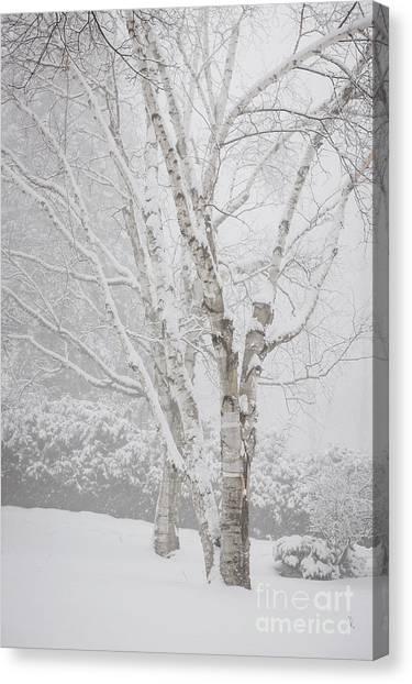 Birch Canvas Print - Birch Trees In Winter by Elena Elisseeva