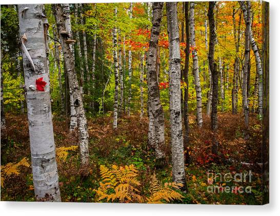 Birch Trees Canvas Print by Todd Bielby