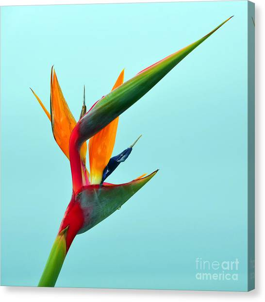 Bird Of Paradise Against Aqua Sky Canvas Print
