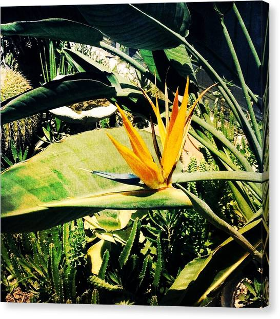 Bird Of Paradise Canvas Print by Beth Williams